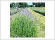 Lavender field at Lavender Backyard Garden