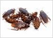 Cockroackes Treatment Perth