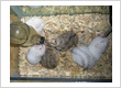 Types of hamster