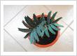 Encephalartos Arenarius True Blue - New Arrival