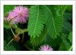 Khasiat Tanaman Putri Malu (Mimosa Pudical)