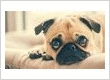 Home About Us  Services  Blog Gallery  Contact Us New Patient Pug Care: Frequently asked questions