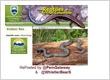 Rubber Boa: Boa Constrictors found in Pemberton