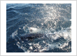 Sunfish tags and releases Striped Marlin at Mayor Island