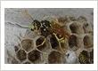 wasp next removal Perth