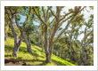Saving the Oak Trees of Marin County