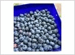 Pick Your Own Blueberries at Lavender Backyard Garden