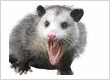 opossum-removal-opossum-trapping
