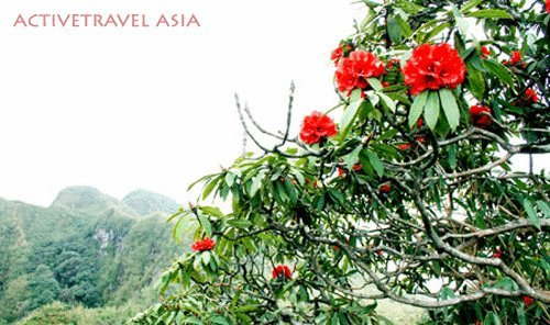 Rhododendrons blossom on the way to conquer Mt.Fansipan, Sapa, Vietnam