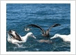Albatrosses and Petrel Feeding