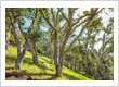 Saving the Oak Trees of Marin County