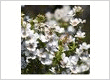 Manuka Plant or Leptospermum Scoparium